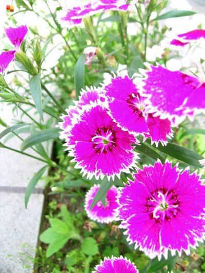 紫のナデシコ