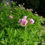 蚊連草の育て方と香りを良くする3つのポイント