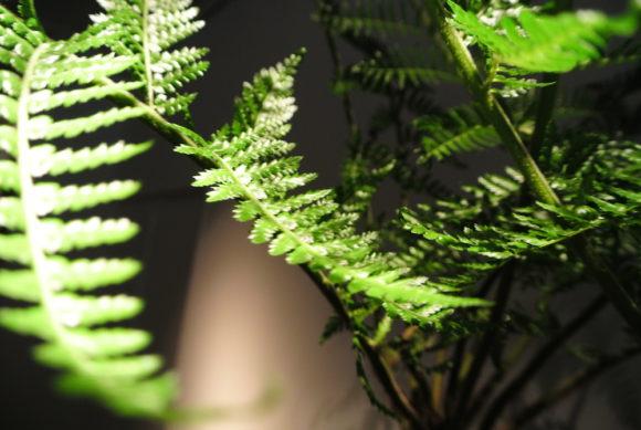太古の植物として有名なソフトツリーファーン