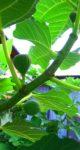 イチジクの実が熟れない3つの原因とその対処法