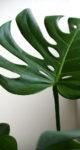 観葉植物の植え替え方法 時期や注意点は?【モンステラの幹立ち(幹上がり) 仕立て方 編】